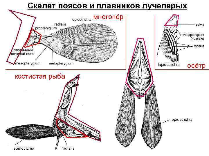 Скелет поясов и плавников лучеперых      многопёр