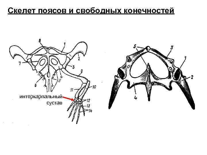 Скелет поясов и свободных конечностей  интеркарпальный   сустав