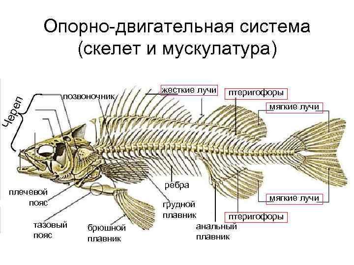 Опорно-двигательная система   (скелет и мускулатура)