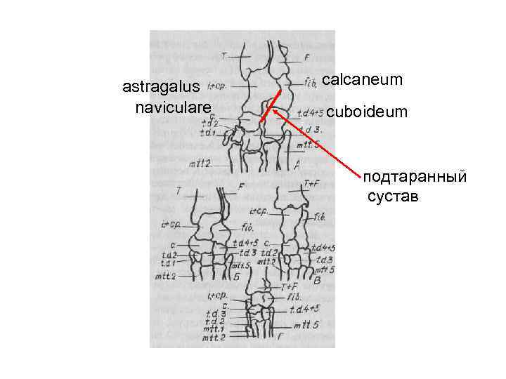 astragalus  calcaneum naviculare  cuboideum     подтаранный