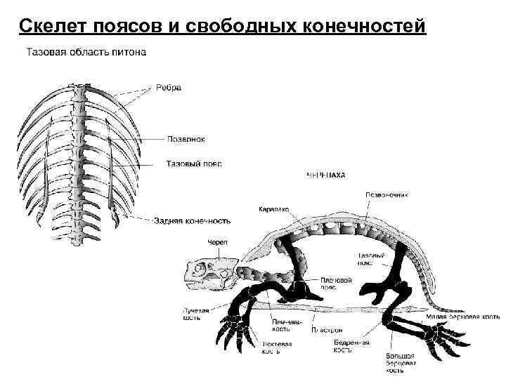 Скелет поясов и свободных конечностей