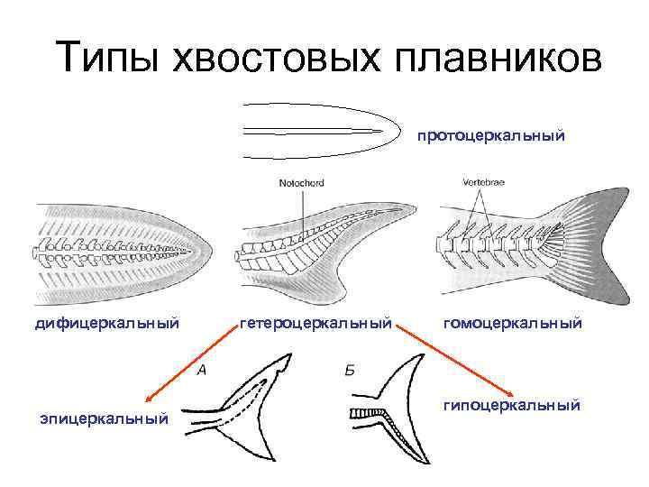 Типы хвостовых плавников       протоцеркальный дифицеркальный  гетероцеркальный