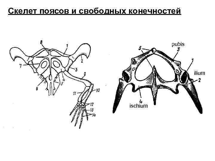 Скелет поясов и свободных конечностей       pubis