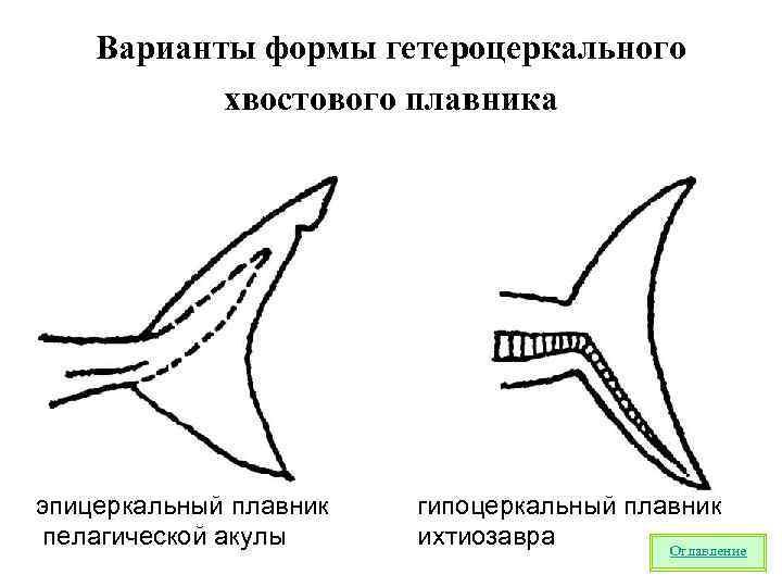 Варианты формы гетероцеркального  хвостового плавника эпицеркальный плавник  гипоцеркальный плавник пелагической