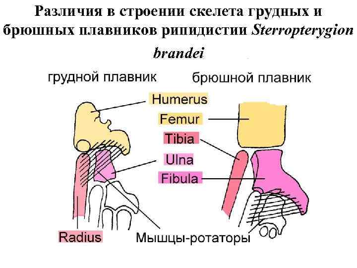 Различия в строении скелета грудных и брюшных плавников рипидистии Sterropterygion