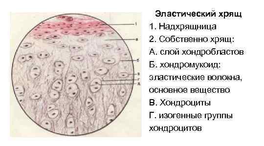 Эластический хрящ 1. Надхрящница 2. Собственно хрящ: А. слой хондробластов Б. хондромукоид: эластические