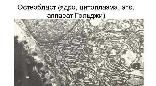 Остеобласт (ядро, цитоплазма, эпс,   аппарат Гольджи)
