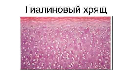 Гиалиновый хрящ