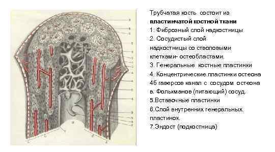 Трубчатая кость состоит из пластинчатой костной ткани 1. Фиброзный слой надкостницы 2. Сосудистый слой