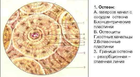1. Остеон: А. гаверсов канал с сосудом остеона Б. концентрические пластинки В. Остеоциты Г.