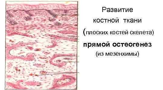 Развитие  костной ткани (плоских костей скелета) прямой остеогенез (из мезенхимы)