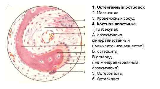 1. Остеогенный островок 2. Мезенхима 3. Кровеносный сосуд 4. Костная пластинка ( трабекула): А.