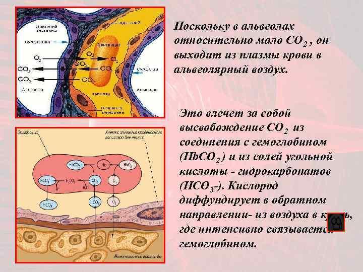 Поскольку в альвеолах относительно мало CO 2 , он выходит из плазмы крови в