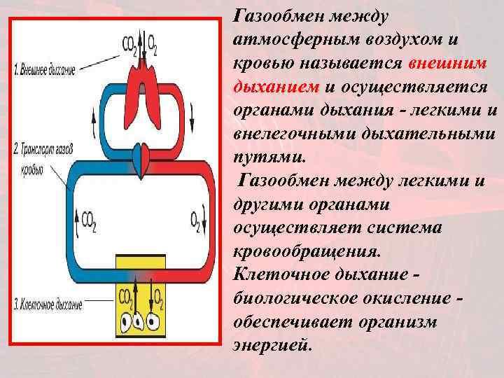 Газообмен между атмосферным воздухом и кровью называется внешним дыханием и осуществляется органами дыхания -