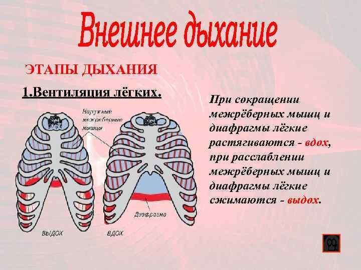 ЭТАПЫ ДЫХАНИЯ 1. Вентиляция лёгких.  При сокращении    межрёберных мышц и
