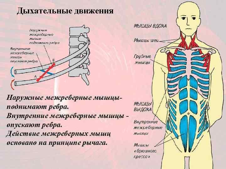 Дыхательные движения Наружные межреберные мышцы- поднимают ребра. Внутренние межреберные мышцы - опускают ребра.