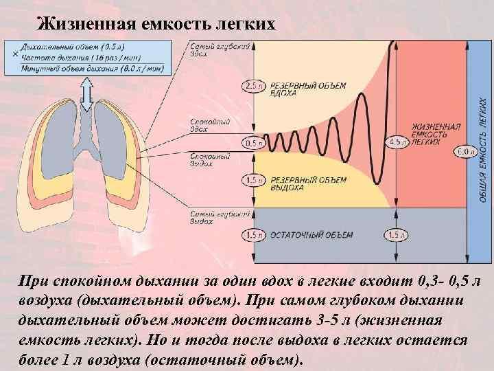 Жизненная емкость легких При спокойном дыхании за один вдох в легкие входит 0,
