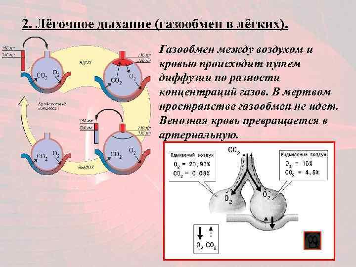 2. Лёгочное дыхание (газообмен в лёгких).    Газообмен между воздухом и