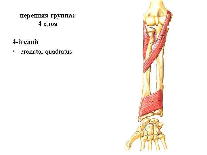 передняя группа:   4 слоя 4 -й слой • pronator quadratus