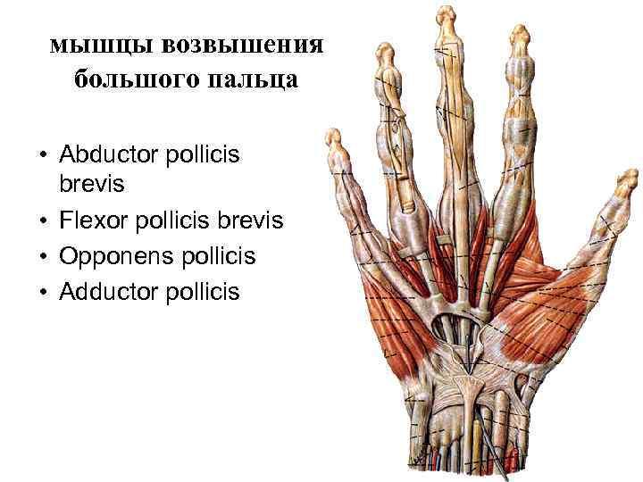 мышцы возвышения  большого пальца  • Abductor pollicis  brevis • Flexor