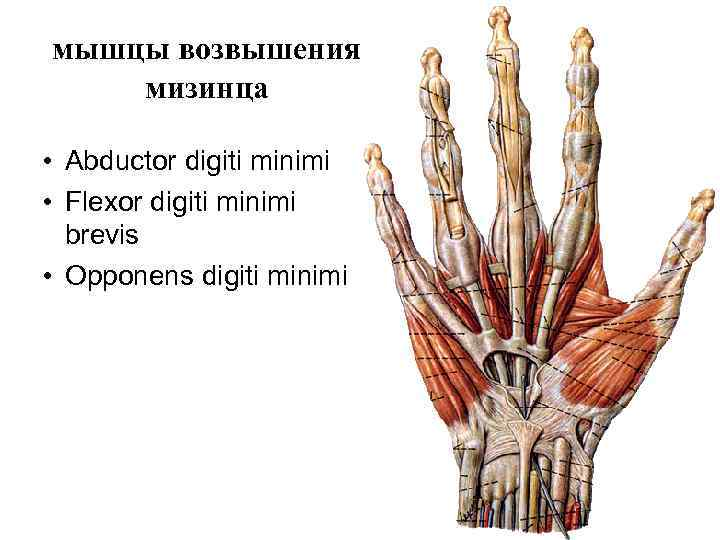 мышцы возвышения мизинца  • Abductor digiti minimi • Flexor digiti minimi  brevis