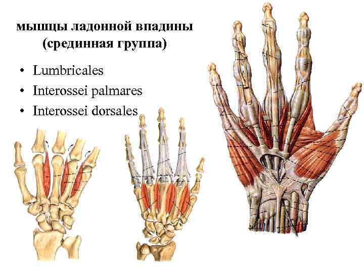 мышцы ладонной впадины  (срединная группа) • Lumbricales • Interossei palmares • Interossei dorsales