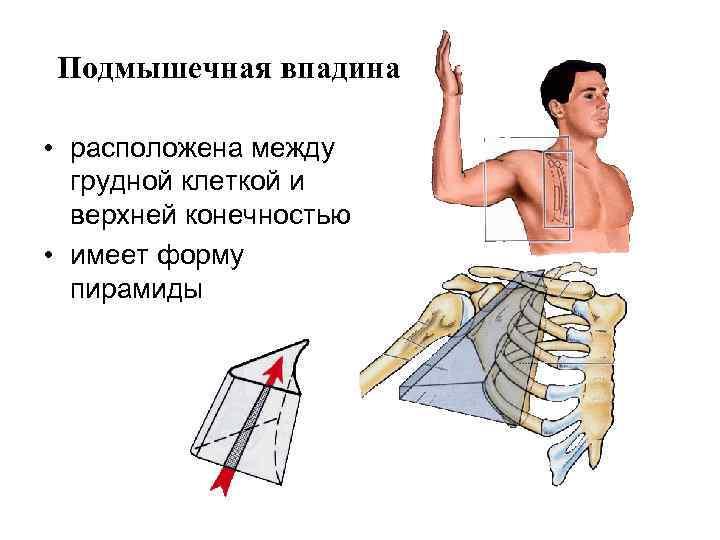 Подмышечная впадина  • расположена между  грудной клеткой и  верхней конечностью •