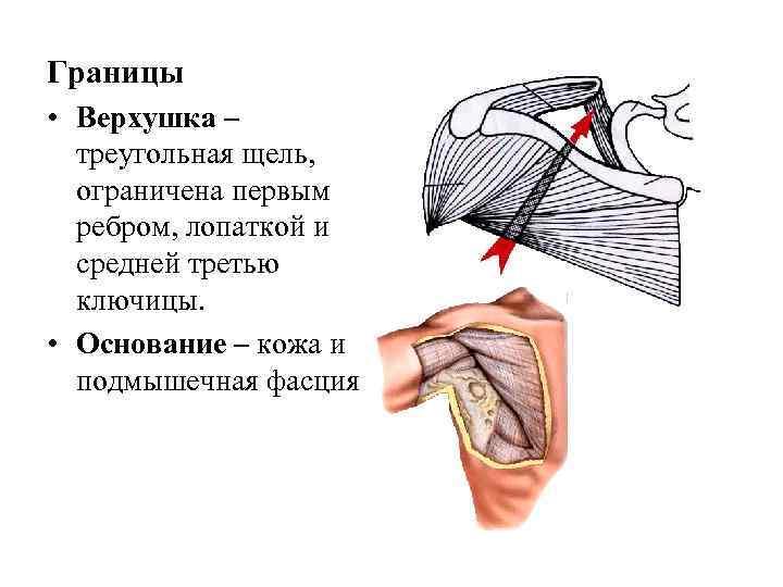 Границы • Верхушка –  треугольная щель,  ограничена первым  ребром, лопаткой и