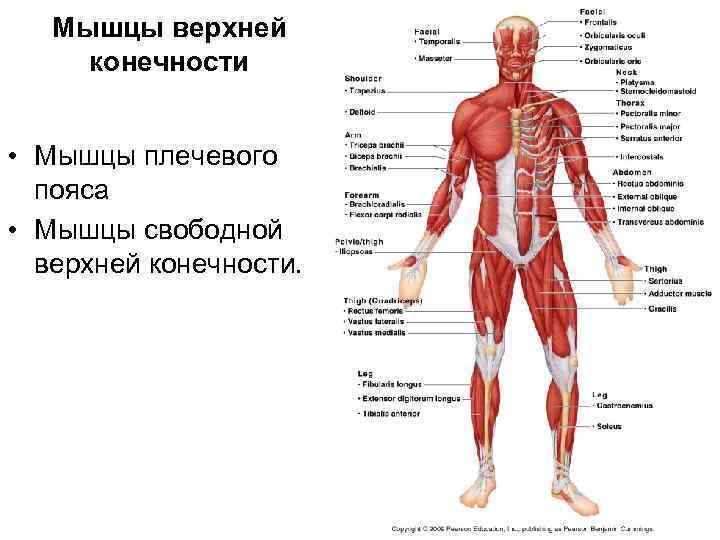 Мышцы верхней конечности  • Мышцы плечевого  пояса • Мышцы свободной