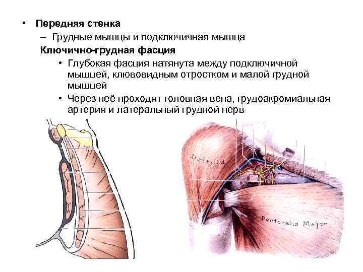 • Передняя стенка  – Грудные мышцы и подключичная мышца  Ключично-грудная фасция
