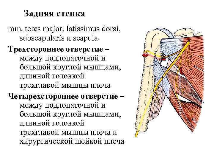 Задняя стенка mm. teres major, latissimus dorsi,  subscapularis и scapula Трехстороннее