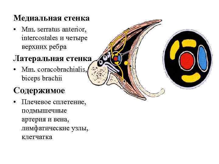 Медиальная стенка • Mm. serratus anterior,  intercostales и четыре  верхних ребра Латеральная