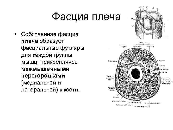 Фасция плеча • Собственная фасция  плеча образует  фасциальные футляры