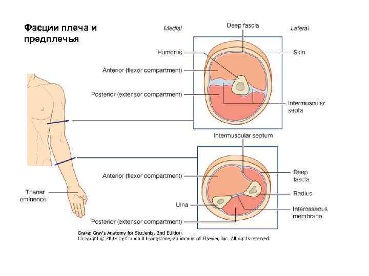 Фасции плеча и предплечья  Muscle components in the arm and forearm.