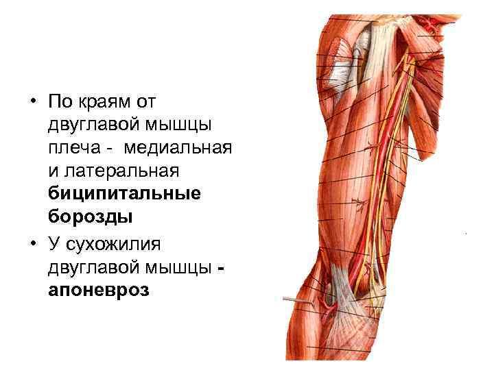 • По краям от  двуглавой мышцы  плеча - медиальная  и