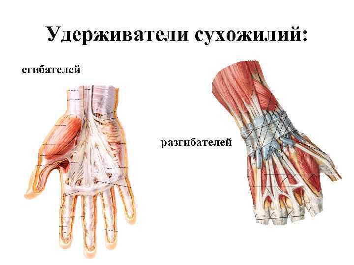Удерживатели сухожилий: сгибателей   разгибателей