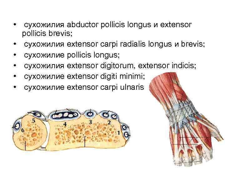 • сухожилия abductor pollicis longus и extensor  pollicis brevis;  • сухожилия