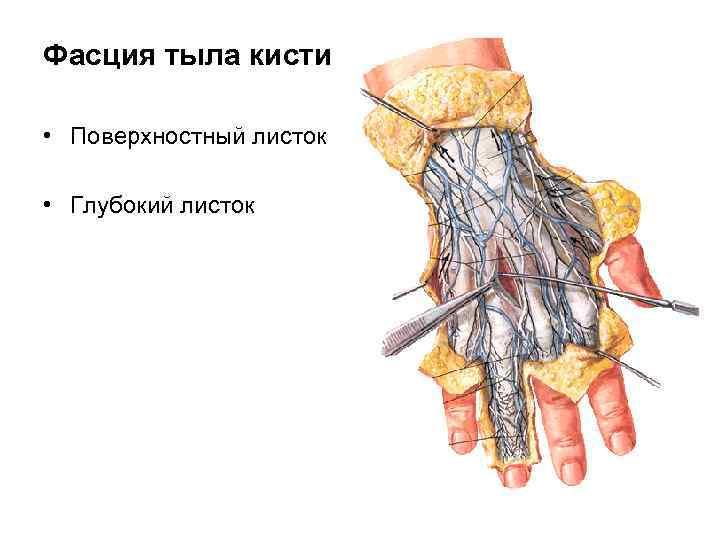 Фасция тыла кисти  • Поверхностный листок  • Глубокий листок