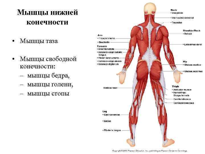 Мышцы нижней  конечности  • Мышцы таза  • Мышцы свободной