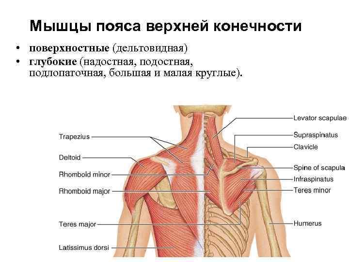 Мышцы пояса верхней конечности • поверхностные (дельтовидная) • глубокие (надостная, подостная,  подлопаточная,