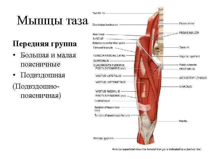 Мышцы таза Передняя группа • Большая и малая  поясничные • Подвздошная (Подвздошно-