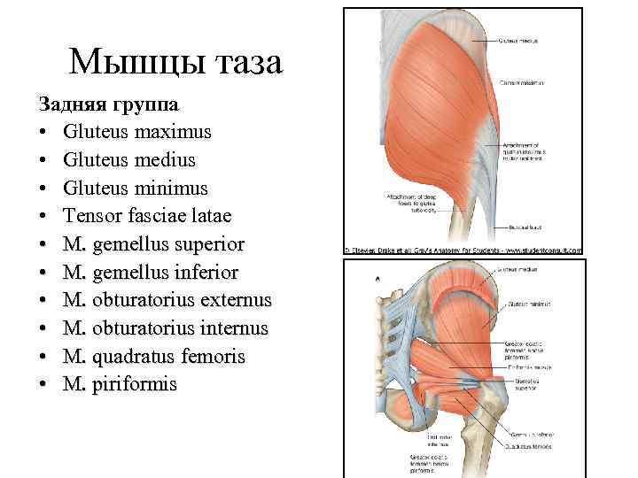 Мышцы таза Задняя группа • Gluteus maximus • Gluteus medius • Gluteus