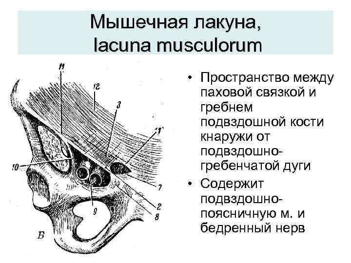 Мышечная лакуна, lacuna musculorum  • Пространство между  паховой связкой и  гребнем