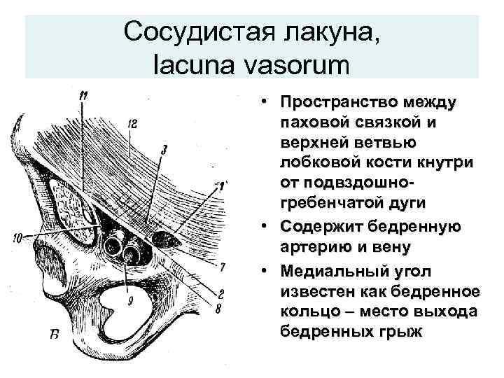 Сосудистая лакуна,  lacuna vasorum  • Пространство между  паховой связкой и