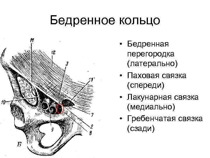 Бедренное кольцо  • Бедренная   перегородка   (латерально)  • Паховая