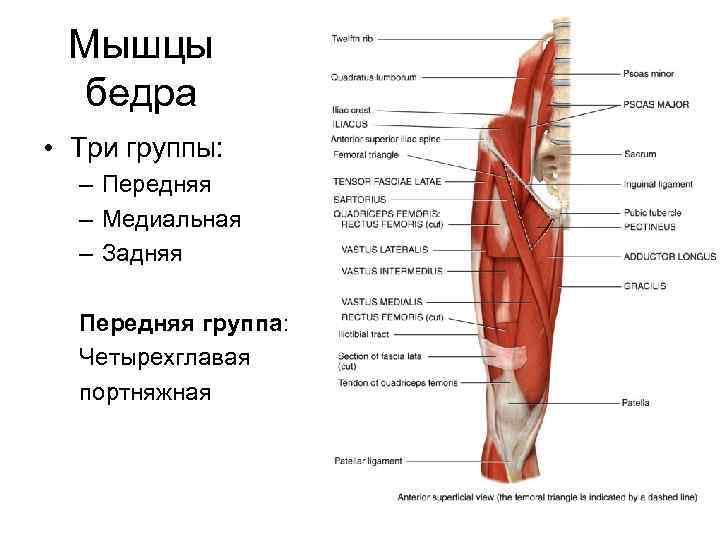 Мышцы бедра • Три группы:  – Передняя  – Медиальная  –