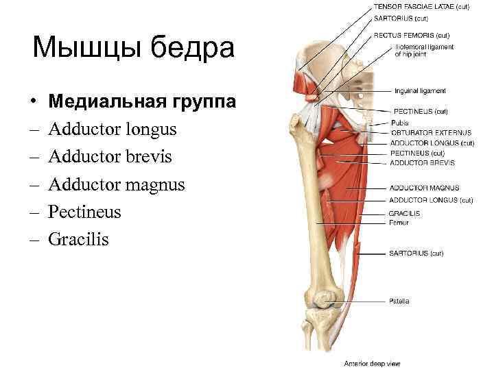 Мышцы бедра •  Медиальная группа –  Adductor longus –  Adductor brevis