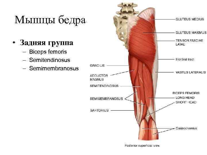 Мышцы бедра • Задняя группа  – Biceps femoris  – Semitendinosus  –