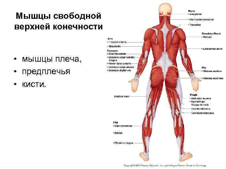 Мышцы свободной верхней конечности  • мышцы плеча,  • предплечья • кисти.