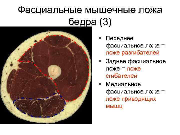 Фасциальные мышечные ложа   бедра (3)    • Переднее